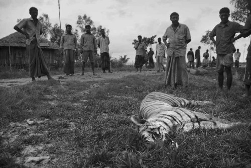 Tiger killed by the villagers
